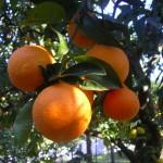 Arance biologiche gratis da NaturaSì e Cuorebio